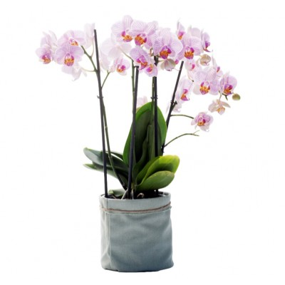 Orchidée extra/phalaenopsis : 4 branches