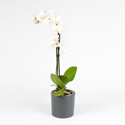 Orchidée 1 branche (différents coloris)