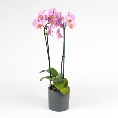 Orchidée 2 branches (différents coloris)